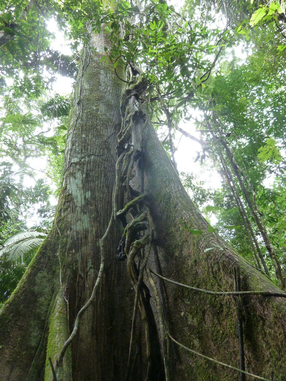 Tree in the Amazon