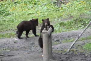 I can do it.... bear hide outside Brasov Romania 2015