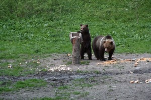 Mother and baby bear, outside Brasov Romania 2015