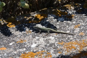 Some of the 'wildlife' on our walk between Fira and Oia, Santorini Greece 2015