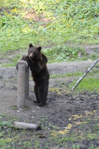 Baby brown bear having some food... outside Brasov Romania 2015